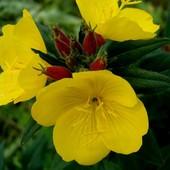 Энотера-яркое неприхотливое растение,до 10корешков в лоте