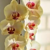 Орхидея(фаленопсис)Ярко жёлтая с тёмной серединкой.Читать объявление.Фото в живую.