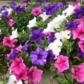 Петуния Триумф смесь цветов 50 семян в лоте