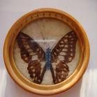 Картинка Бабочка в бамбуке ( бабочка настоящая)