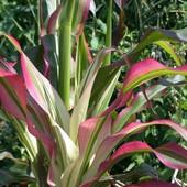 Японская кукуруза Zea japonica Stars & Stripes, настоящая реликвия, 10 семян