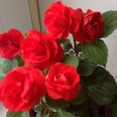 Вазон-Бальзамин -махровый -ярко красный-очень празднечный