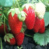 Клубника Нью Айленд. Лот 10 шт ( розсада) Дети рады сладкой ягоде.