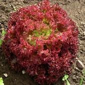 Салат Лолло Росса 50 семян