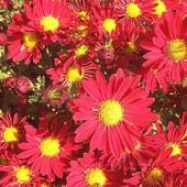 Хризантемы  корейские в лоте - 5 сортов  по  3  корня   каждого