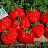Крупная клубника Машенька - среднеранний урожайный сорт неприхотливый в уходе!