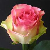 Лот на 2 часа. Не пропустите. 2 куста роз сорт Малибу. Фото корней.