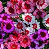 Гвоздика многолетняя садовая разноцветная.