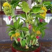 Собирайте лоты!Мини банан.Плодоносит в 45-50 сантиметров.семена -5 штук.!!!!!