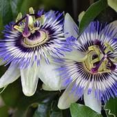 Пассифлора или страстоцвет