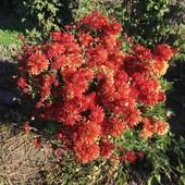 Хризантема высокорослая