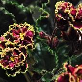 """Фиалка """"Каменный цветок """". Продаётся детка на фото 2"""