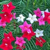 Квамоклит, кипарисная лиана, микс или Бобовник анагиролистный Золотой дождь, 10 семян