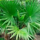 Саженец Трахикарпуса Форчуна (Trachycarpus fortunei)(Последний лот).