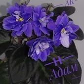 Н-Адам -вкорінений листочок з діткою