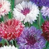 Василек , микс цветов, до 2024 года