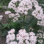 Валериана лекарственная!!.Однолетние молодые растения (фото2). Фото мои!!)