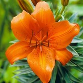 """Лилия азиатская низкорослая """"Оранж пикси"""". Подходит для выращивания в горшках. Луковицы с ростками!"""