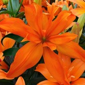 """Лилия """" махровая Скубиду"""". Махровые большие цветы! Лот 1 шт луковица с ростками!"""