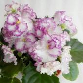 Нежная, милая, сортовая красотка фиалка Коко Шанель, в лоте детка с фото 2, последняя!