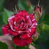 Роза спрей Арроу Фолиес-1 саженец