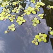 Растения для пруда или аквариума 7шт