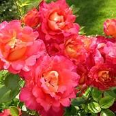 Роза шраб ,парковая Декор Арлекин -1 саженец .