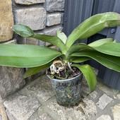 Шикарная орхидея фаленопсис