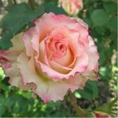 Роза чайно -гибридная Дуэт -1 саженец