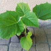 Павловния - дерево будущего! Лот 1 саженец