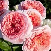Роза английская Абрахам Дерби -1 саженец