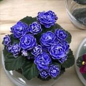 """Фиалка """"Зимняя роза"""". Продаётся укорененый лист с деткой на фото 2."""