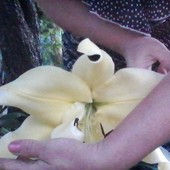 Таких лилий я в жизни не видела..-цветок 40 сантиметров!!! лилия - гигант Big Brother.Фото 1- моё!!