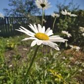 Ромашка Белая садовая
