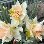 Нарцисс 4 сорта