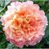 Роза чайно-гибридная Августа Луиза-1 саженец