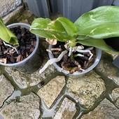 Две Орхидеи Фаленопсис, последние лоты