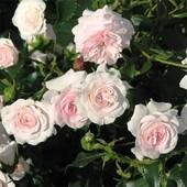 Роза флорибунда Ларисса -1 саженец