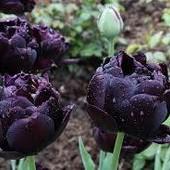 Чёрный -тюльпан махровый Black Hero,разбор 11/12 .См.другие мои лоты.