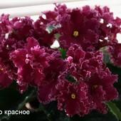 ЛЕ-Лето Красное -вкорінений листочок