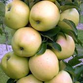 Колонновидная яблоня Трайдент ( зимний сорт )