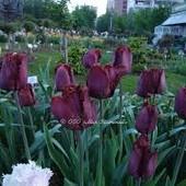 Тюльпан Бахромчатый Black Jewel - шикарный, величественный тюльпан. луковицы 12+