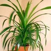Панданус (Ложная пальма-комнатное растение)
