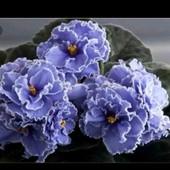 Голубая кровь!!дітка!!,цвіте як на фото1,для продажу фото2.