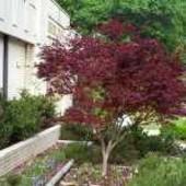К р а с н о л и с т н а я ::слива П и с с а р д и -Prunus cerasifera Pissardii-саженец.