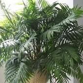 Пальма Хамедорея Изящная. Семена 5 шт. До 2024 года.