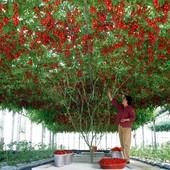 Дерево-помидор Спрут F1.В лоте семена -10 штук.