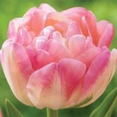Собирайте лоты!!Садим тюльпаны!Махровые поздние тюльпаны Creme Upstar.Только элитные луковицы.