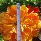Собирайте лоты!! Пионовидный крупноцветковый махроый тюльпан Sunlover.Луковицы 12-