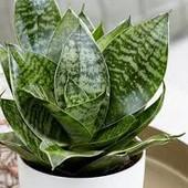 Сансевиерия-неприхотливое домашнее растение